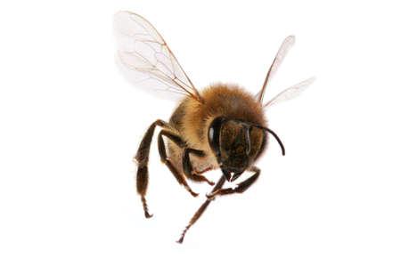 hairy closeup: Flying Bee