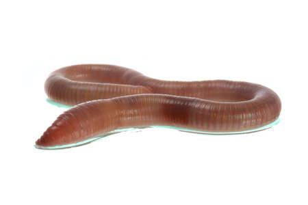 regenworm: Regenworm