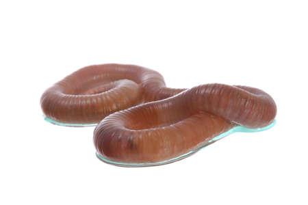 regenworm: Close-up shot van regenworm tegen witte achtergrond Stockfoto