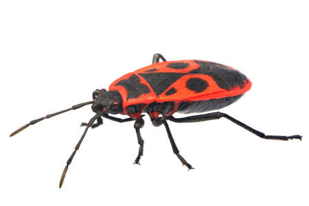 feeler: Fire Bug (Pyrrhocoris apterus)