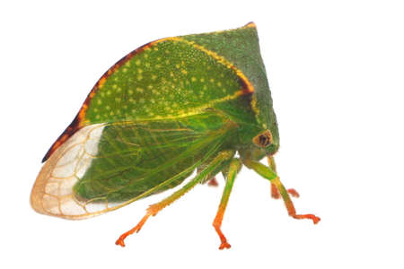 feeler: Buffalo Treehopper (Stictocephala Bisonia)