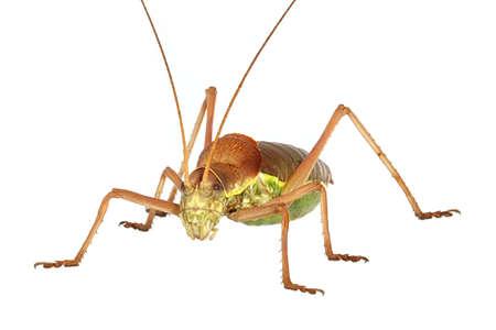 Apterous Grasshopper