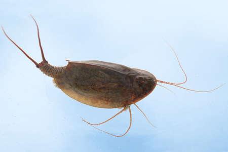 tadpole: Tadpole shrimp (Triops cancriformis)