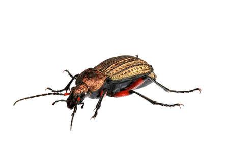 Golden Beetle - 1