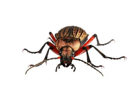 Golden Beetle - 2