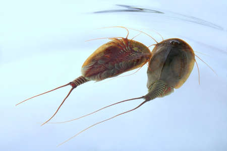 Two Tadpole Shrimps (Triops cancriformis)