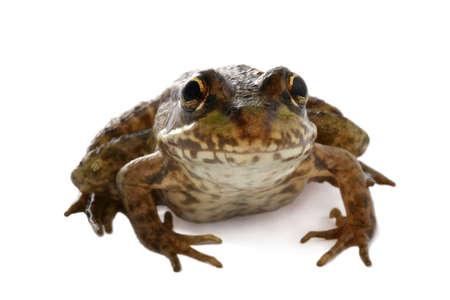 Frog Banco de Imagens
