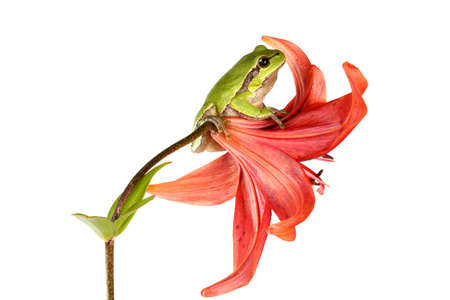 Treefrog on a flower