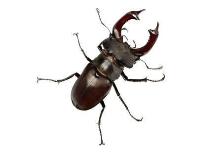 chitin: Stag-Beetle Stock Photo