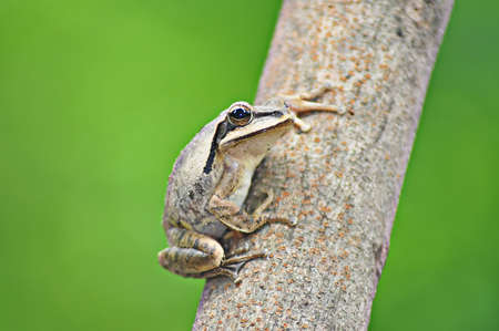 A frog sitting on a tree is looking somewhere