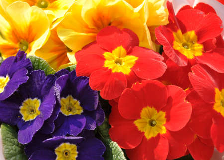 A large bouquet of colorful and beautiful violets