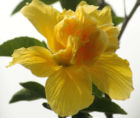 Amazingly beautiful and delicate yellow flower
