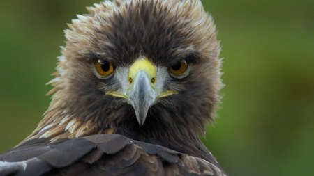 Awesome gaze of an eagle 写真素材