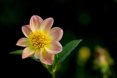 Centrarse en una hermosa flor rosa