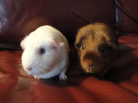 Beautiful couple of hamsters with each other