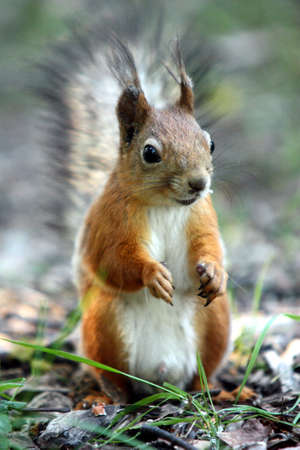 Sedentary Squirrel with a beautiful coat color