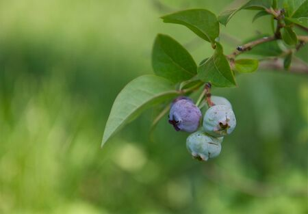 ripening: Blueberries on a Branch Stock Photo
