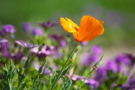 자주색 꽃 중 오렌지 양귀비 스톡 콘텐츠