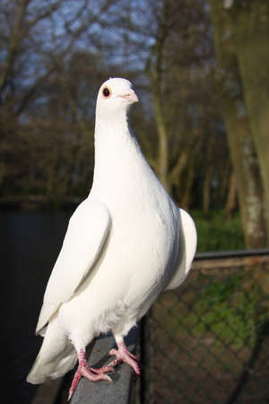 white pigeon ready to take off photo