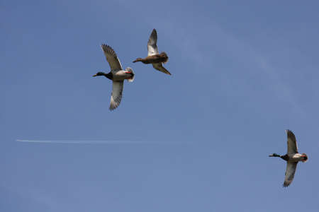 drakes: three mallard ducks   flying