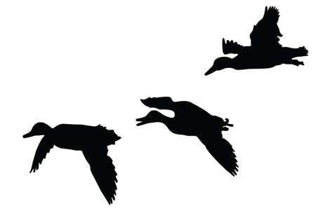 drakes:  mallard ducks   flying  silhouette