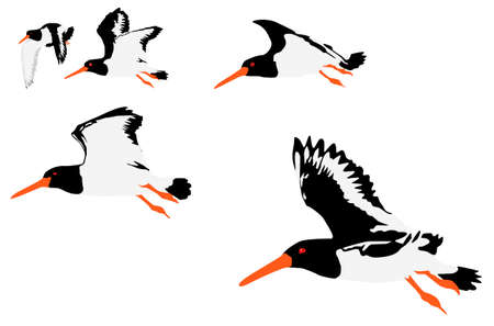 eurasian: vector illustration of oystercatchers flying