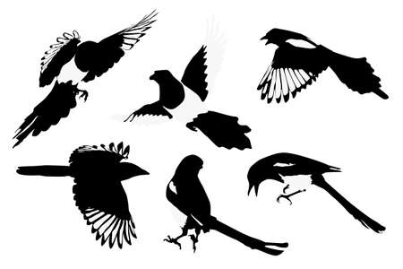 corvidae: magpies illustration, collection for designers Illustration
