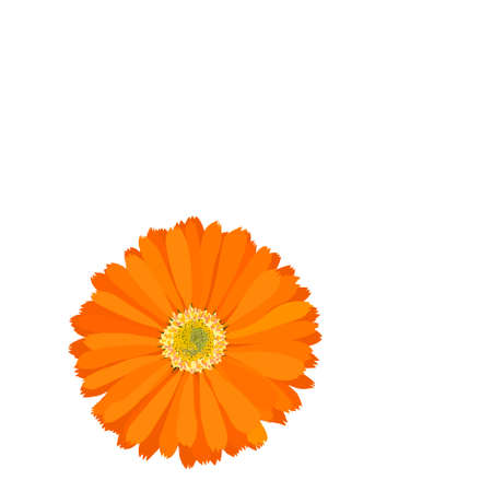 marigold - calendula officinalis, vector illustration