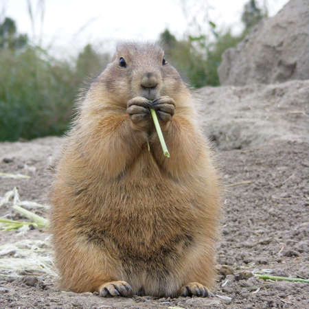 close-up of prairie dog eating grass photo