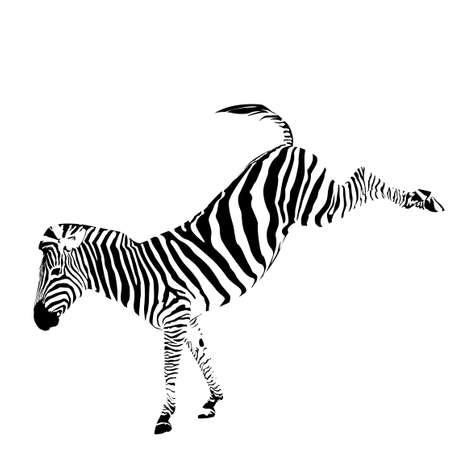 vector illustration of zebra kicking Vector
