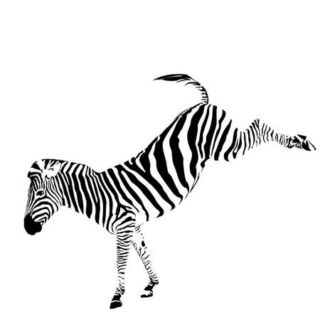 vector illustration of zebra kicking