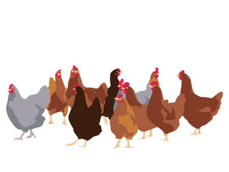 flock of chickens, vector illustration Vector