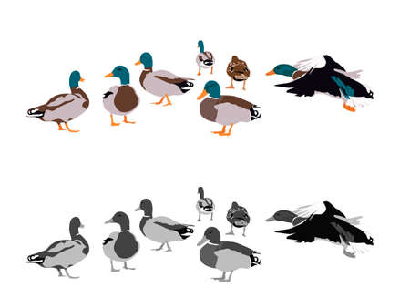 drakes: flock of mallards, two color versions