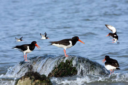 group of eurasian oystercatchers Stock Photo - 5138229