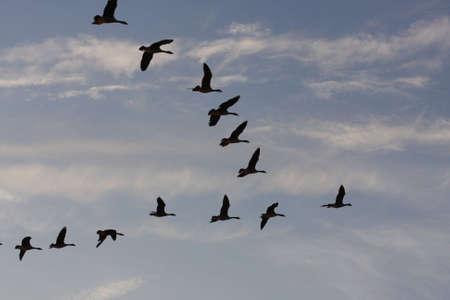 gansos: bandada de gansos egipcios en el cielo de la noche