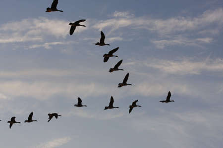 flock of egyptian geese in the evening sky