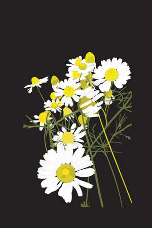 matricaria recutita: bunch of chamomile