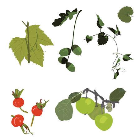 rose hips: decorative plant elements, vector illustration