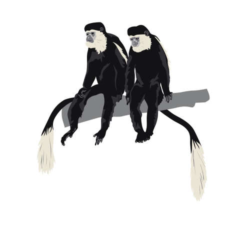 primate: pair of Black-and-white colobus monkeys sitting on tree branch