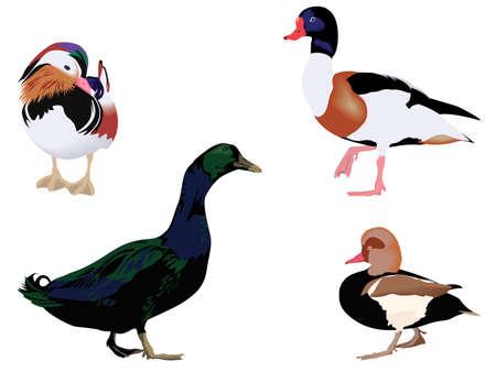 quatre races différentes de canards