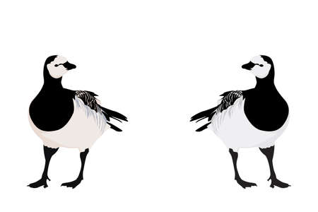 barnacle: illustration of  Barnacle Goose, two color versions