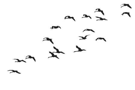 pajaros volando: cu�a de cisnes   Vectores