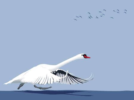 taking off: Cisne despegar desde el agua