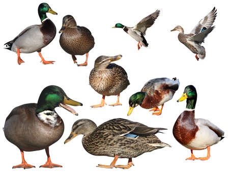 anas platyrhynchos: isolated mallards, set for designers