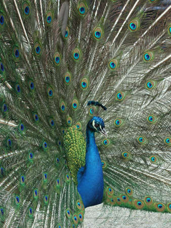 front view of fanned tail blue peacock photo