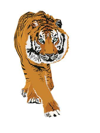 panthera: tigre Vettoriali