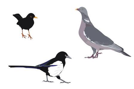 trois espèces d'oiseaux communs Vecteurs