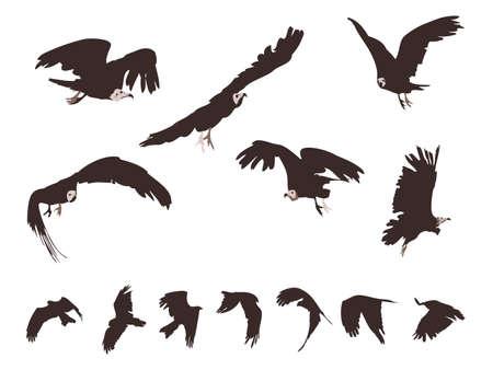 set of Black Kite (Milvus Migrans) in flight Vector