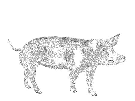 engraved drawing of domesticated pig Vector