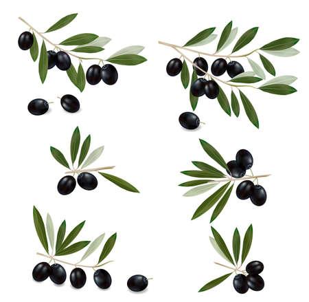 hoja de olivo: Rama de olivo negro. Vector fotorrealistas. Vectores